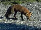 A red fox on a pebble beach
