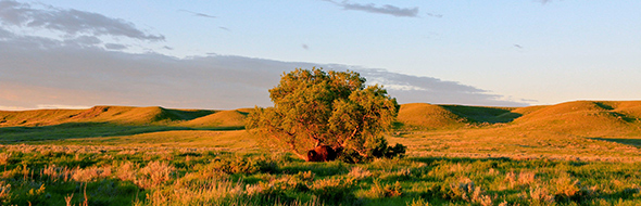 A bison stands underneath a lone tree along Ecotour Road.