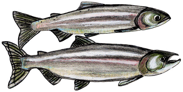 kokanee adults