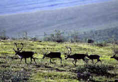 Small group of mature caribou with antlers traveling across a grassy slope
