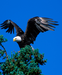Bald eagle with wings outstretched perches at the top of a tree