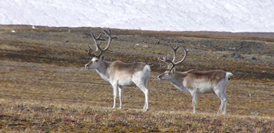 A pair of Peary caribou look out over the tundra landscape.