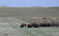Bison release at Grasslands National Park