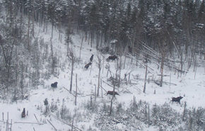 An aerial photograph taken during a moose population survey.