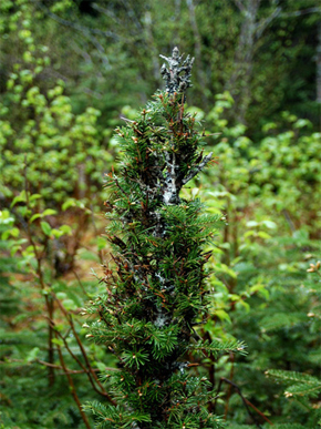 Severely moose browsed balsam fir