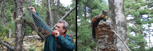 "Parks Canada staff use ""mark-recapture"" surveys each year to monitor the population of the Newfoundland Marten."