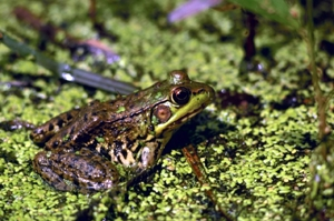 Green frog in a marsh
