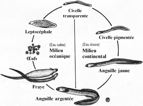 Reproduction et cycle vital
