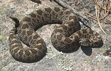 Le serpent massasauga