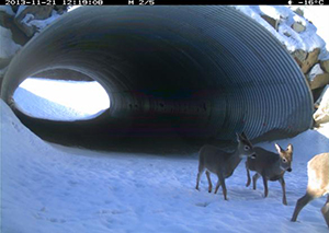 Remote camera image of white-tailed deer using an animal underpass on Highway 93 South