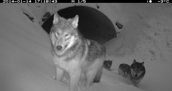 Remote camera image of wolves using an animal underpass