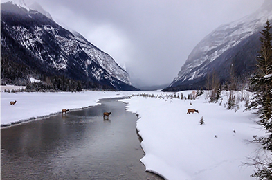 Elk crossing the Kicking Horse River at Field, B.C.