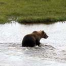 Ours Grizzly dans le parc national Wapusk