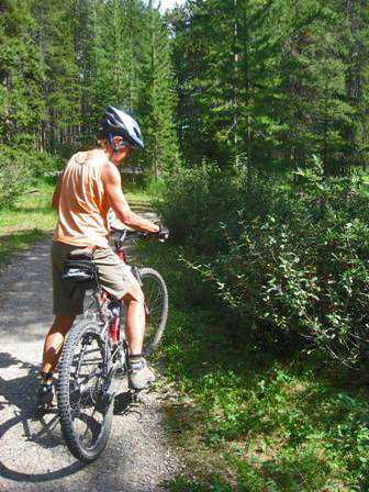 Cyclist taking notice of buffaloberries along a trail