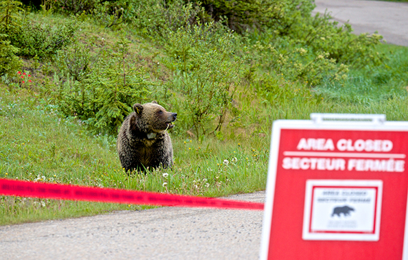 Grizzly bear in an area closure near Lake Louise Drive