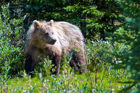 Grizzly bear at Bow Summit © Parks Canada / A. Taylor