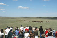 Réintroduction de bisons dans le parc national des Prairies