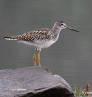 Greater yellowlegs on a rock