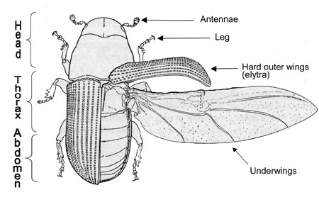 This is the general body structure of a common ground beetle