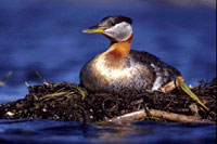 Picture of a red-necked grebe on the water