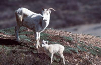 Picture of a Dall sheep and his lamb on a mountain