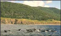Pilot Whales off Cape Breton Highlands National Park