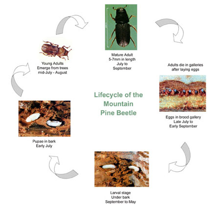 Image showing the lifecycle of the mountain pine beetle. Young adults emerge from trees in mid-July to August. Mature adults attack trees between July and September. In general, they die after the eggs are laid. Eggs are laid in late July to early September. Eggs evolve to larval stage between September and May. They feed under the bark. The larvae become pupae in early July. They continue to grow into young adults, and the cylce begins again.
