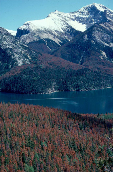A photograph showing a group of trees with red needles that have been killed by a mountain pine beetle attack.