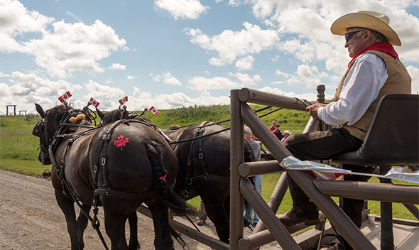 Percheron horses dressed up for Canada Day