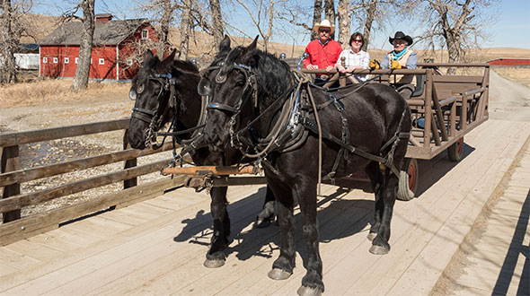 Two Percheron horses pull a wagon at the Bar U Ranch National Historic Site