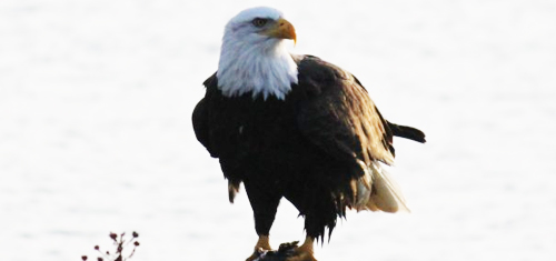 The majestic Bald eagle finding small animals to prey on