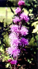 Meadow Blazing Star