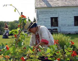 A costumed interpreter working in the garden examines the red buds on Scarlett Runner bean plants