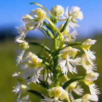 Eastern Prairie Fringed-Orchid