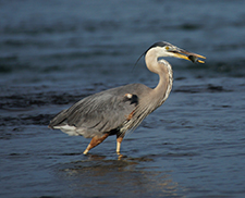The birds of the Rapids - great blue heron
