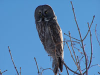 Great grey owl at Grosse Île during migration