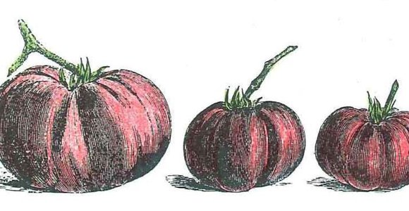 Historic drawing of 3 tomatoes