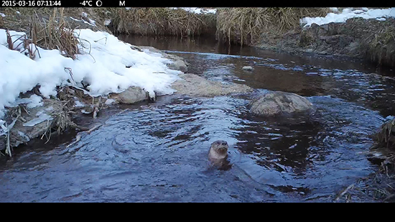 A single otter bobbing in the water as it curiously looks into the camera