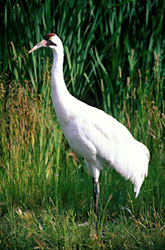 Close-up of a Whooping crane in Wood Buffalo National Park of Canada.