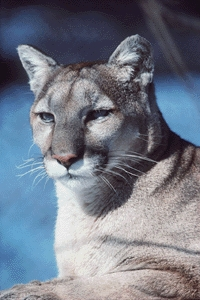 Head shot of a cougar.