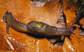 Close-up of a dromedary jumping-slug