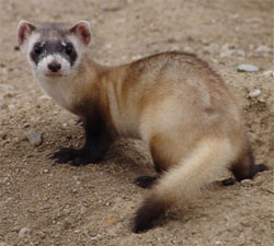 Close-up of a Black-footed Ferret