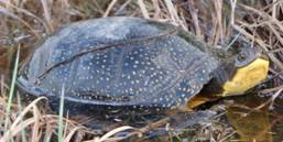 Photo of  Blanding's Turtle © Jeffie McNeil