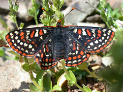 Adult Taylor's Checkerspot