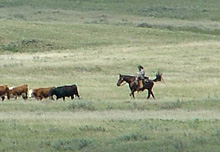 Parks Canada has re-introduced grazing cattle to nine parcels of land within Grasslands National Park