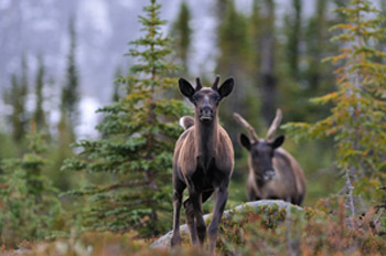 Young calf in Jasper National Park