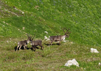 Woodland caribou in Mount Revelstoke National Park