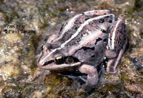 Wood Frog Adult on Algae