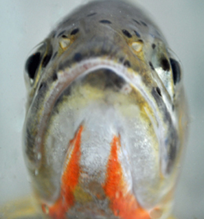 Cutthroat trout © DFO / Petry