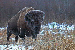 Park Canada contributes to survival of wood bison, a Species at Risk